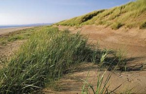 Marram grass growing in Scotland (Image credit: Scottish Natural Heritage)
