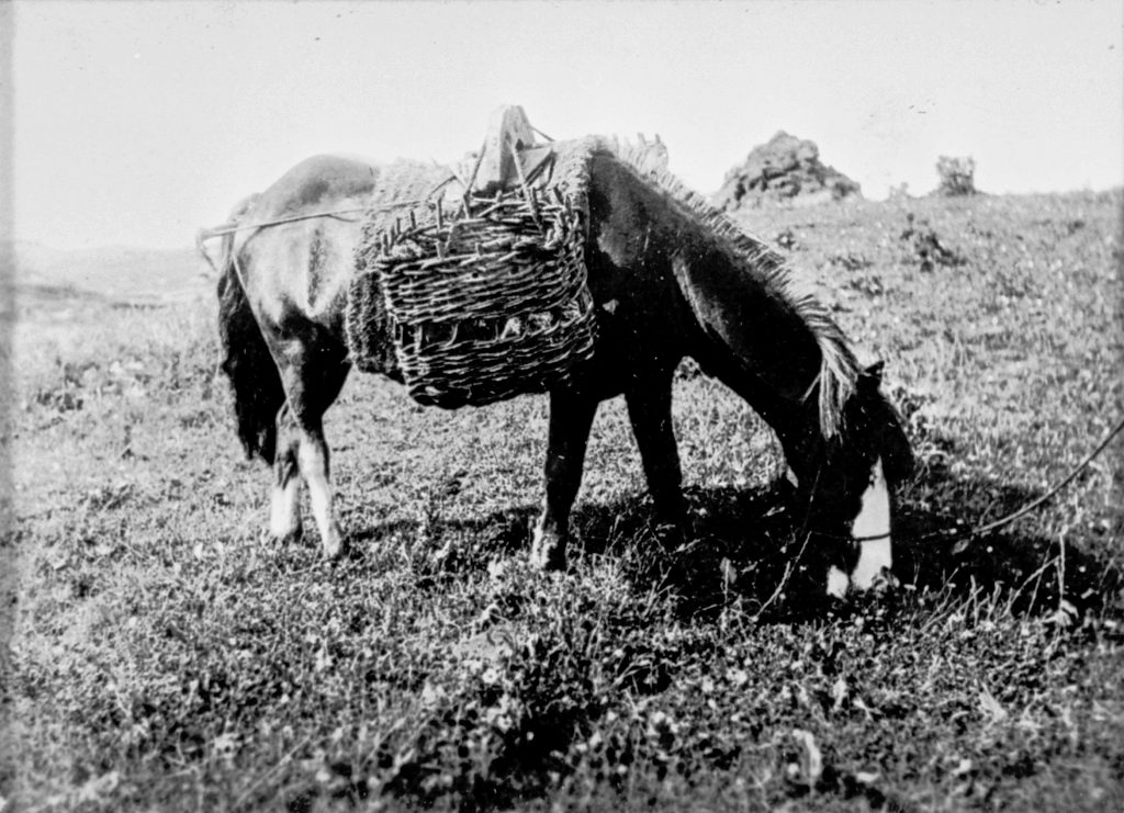 Eriskay pony with panniers. Image courtesy of Am Baile/Edinburgh Central Library